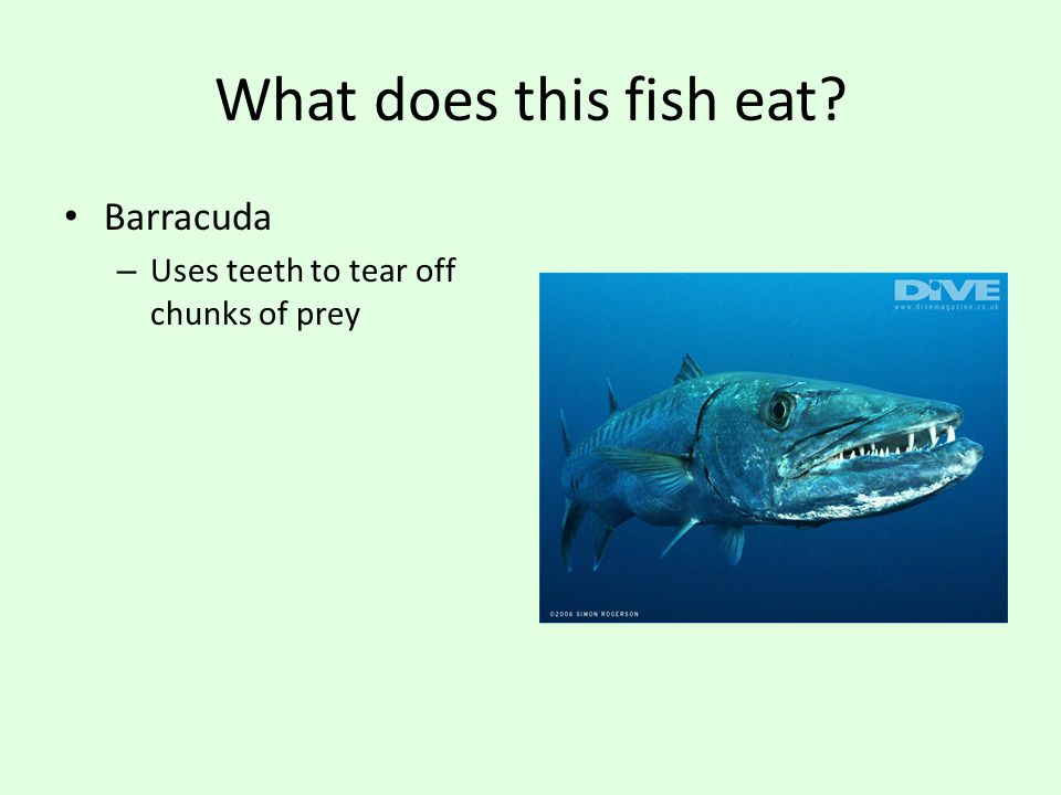 Bony fishes comparing and contrasting ppt video online for What fish eat