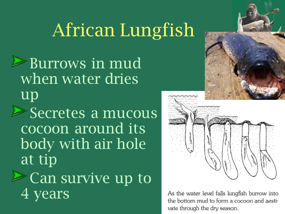 How do the lungs of an African lungfish work?