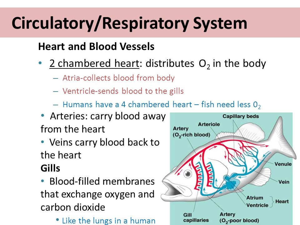 Biology of fish ppt video online download circulatoryrespiratory system ccuart Images