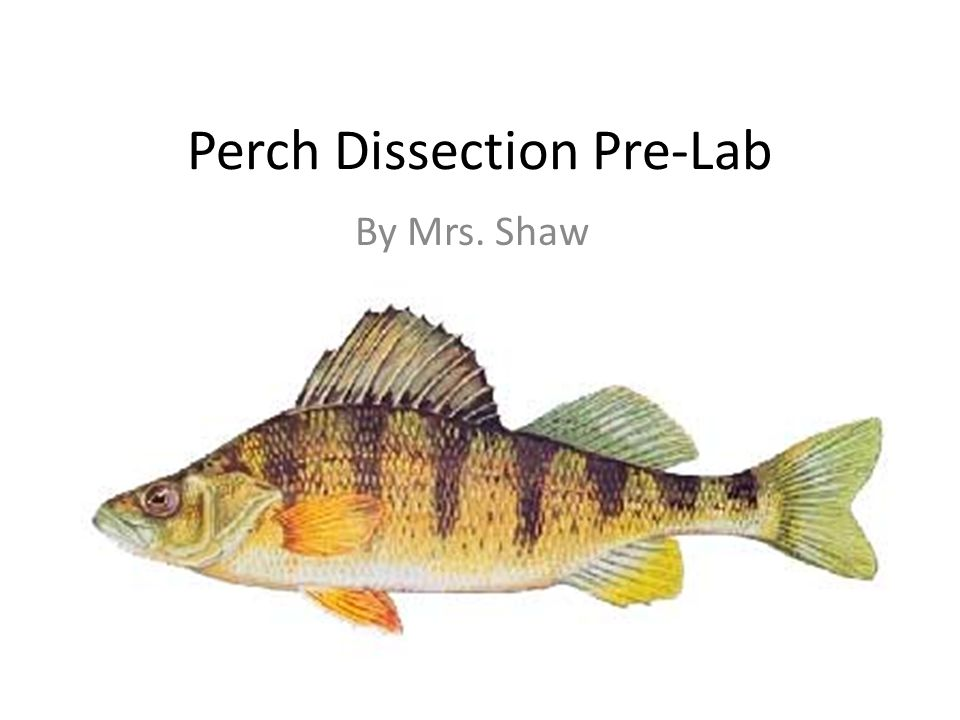Perch Dissection Pre-Lab - ppt video online download