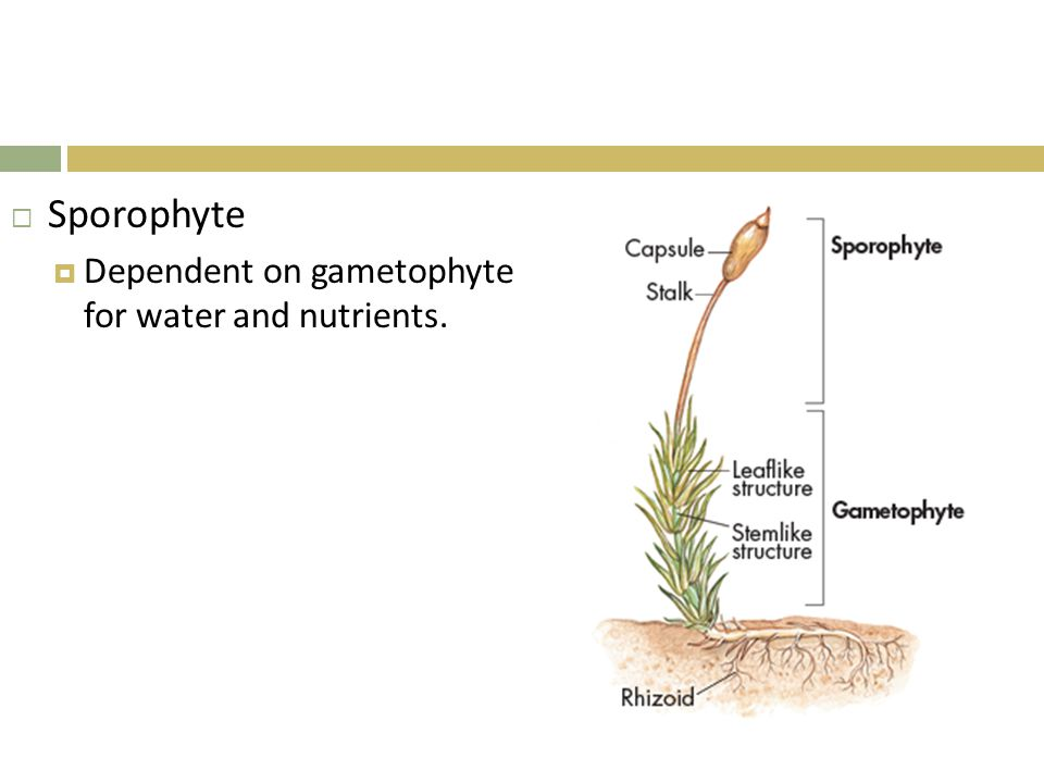 Sporophyte Dependent on gametophyte for water and nutrients.