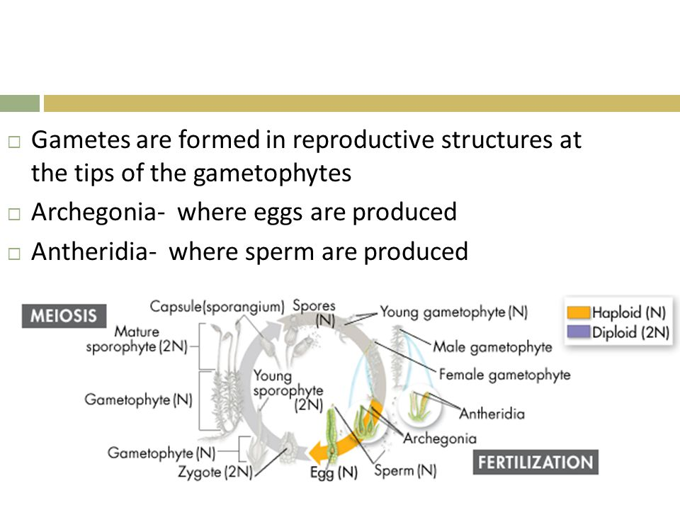 Gametes are formed in reproductive structures at the tips of the gametophytes