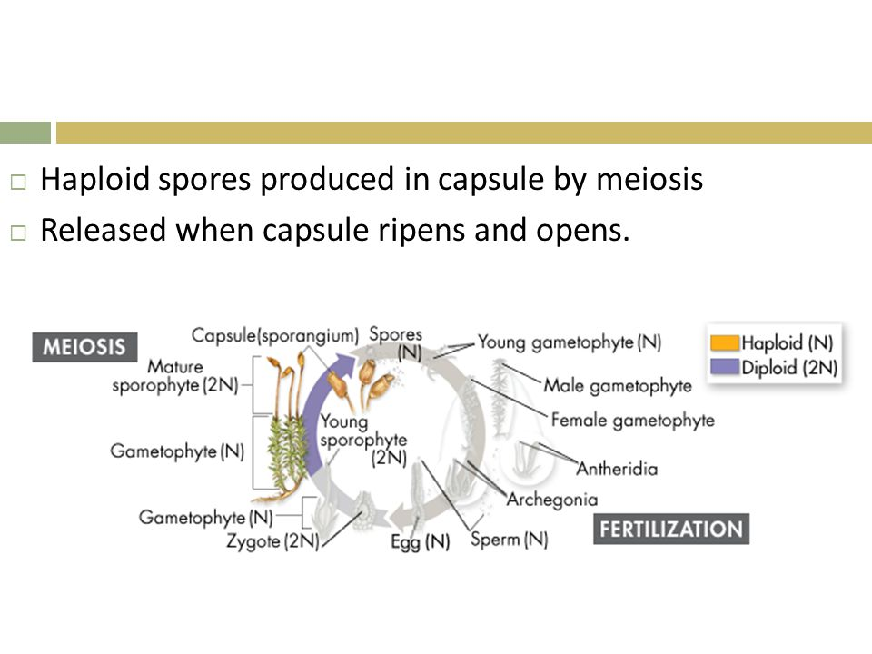 Haploid spores produced in capsule by meiosis
