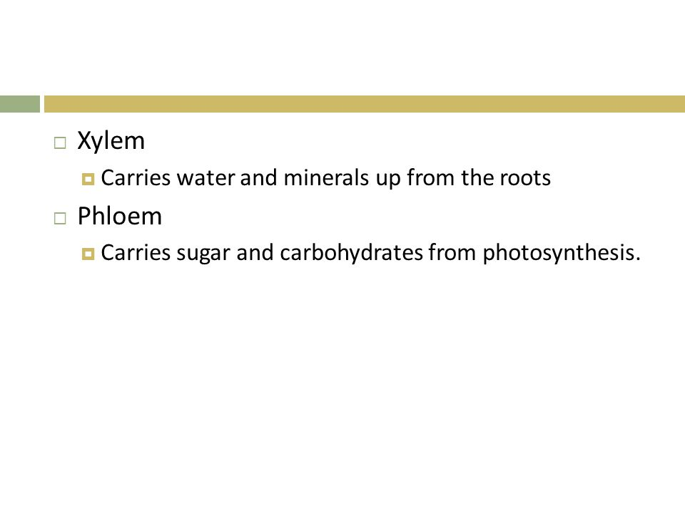 Xylem Phloem Carries water and minerals up from the roots