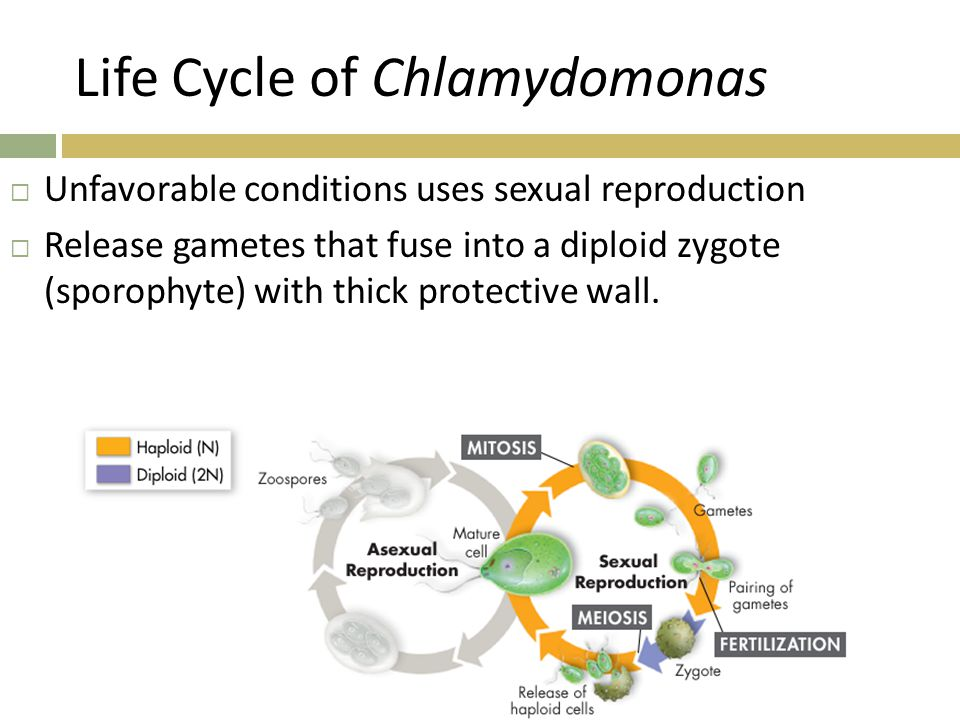 Life Cycle of Chlamydomonas
