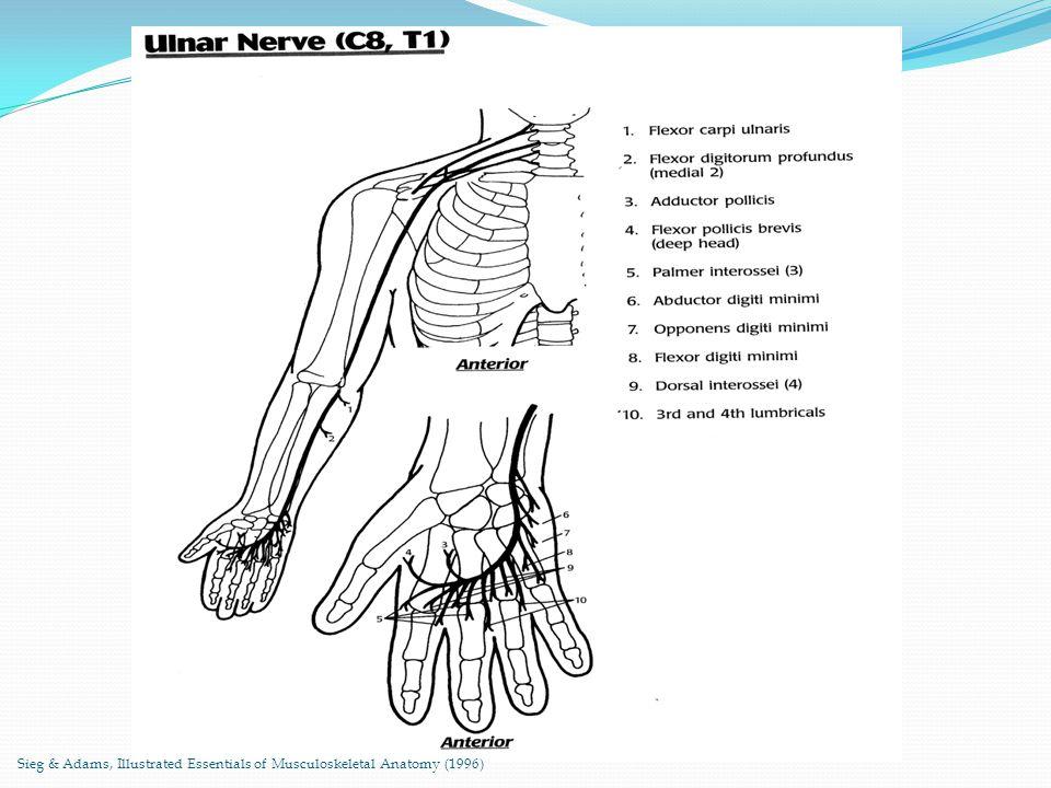 Anatomy of ulnar nerve