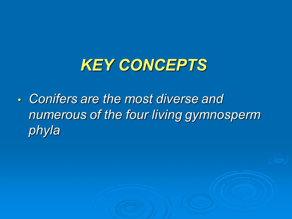 KEY CONCEPTS Conifers are the most diverse and numerous of the four living gymnosperm phyla
