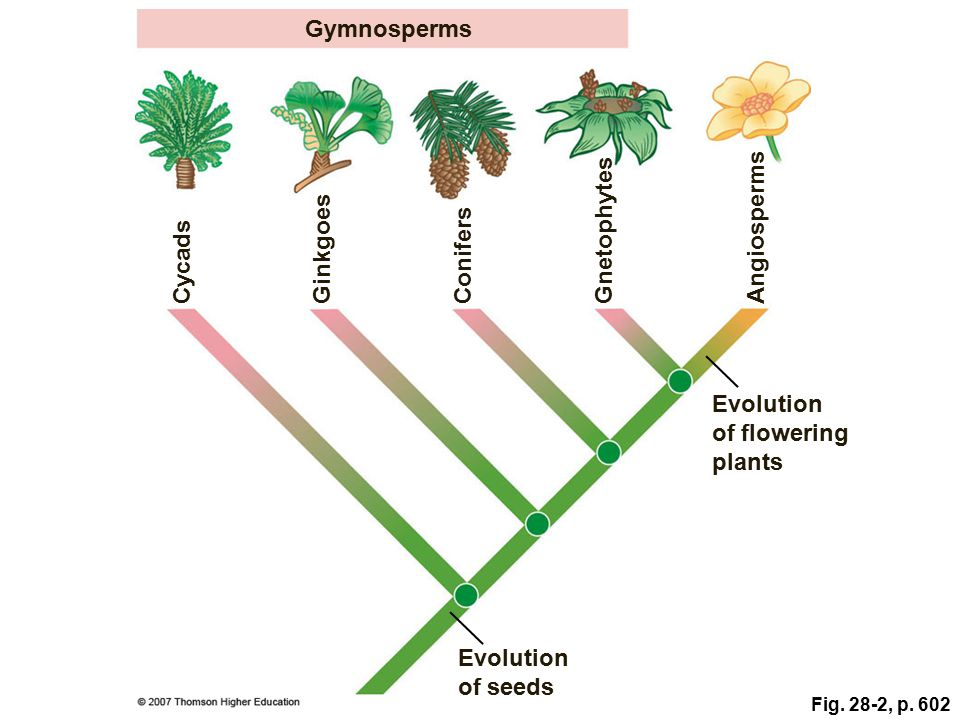 Gymnosperms Angiosperms Gnetophytes Ginkgoes Conifers Cycads Evolution