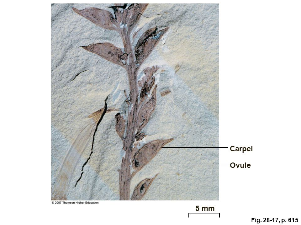 Figure 28.17: The oldest known fossil angiosperm.
