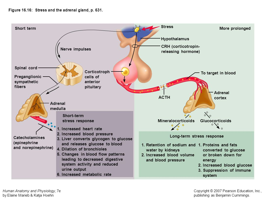 Unique Adrenal Gland Anatomy And Physiology Pictures - Human Anatomy ...