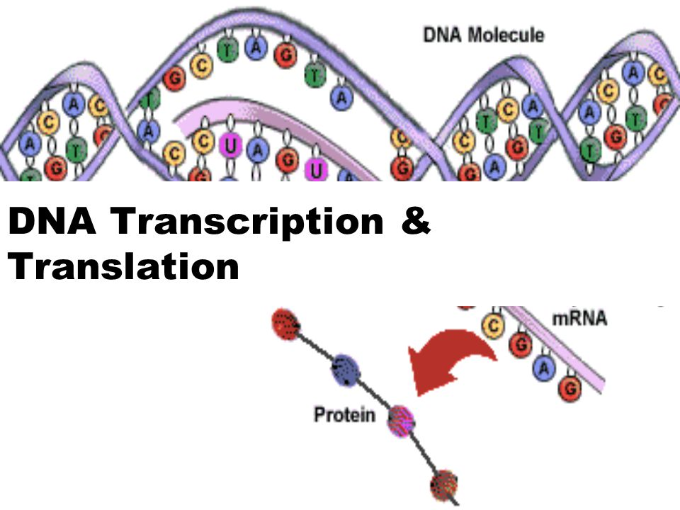 dna transcription and translation Genetic code, transcription and translation adapted from the lesson introduction to genome biology s dudoit and r gentleman university of berkeley.