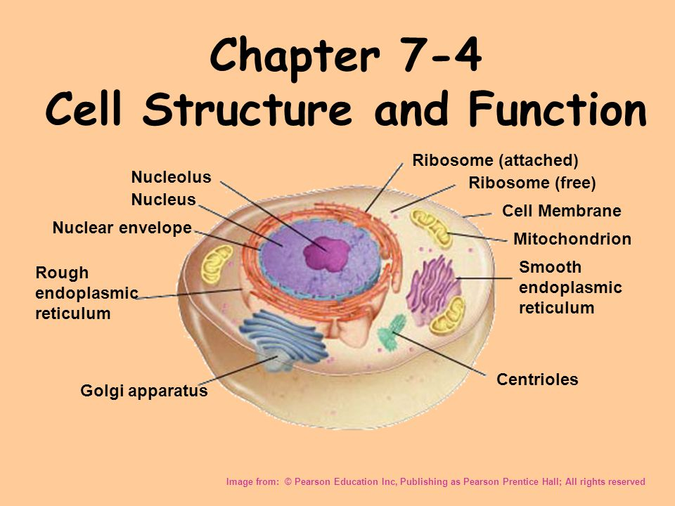 Chapter 7 4 Cell Structure And Function Ppt Video Online Download