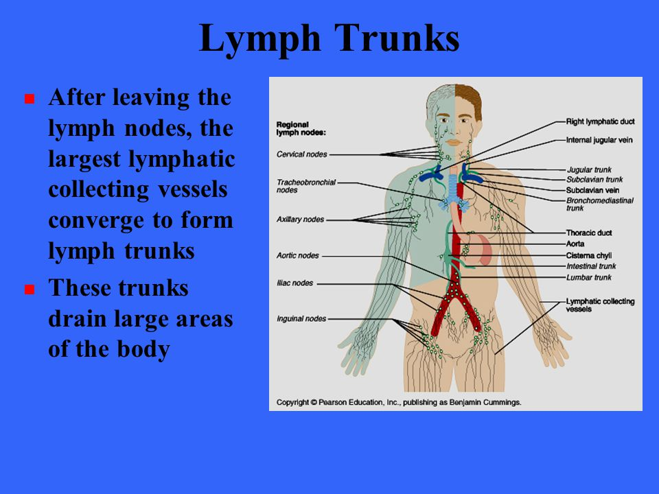The Lymphatic System Chapter ppt download Lymph Nodes Of The Body