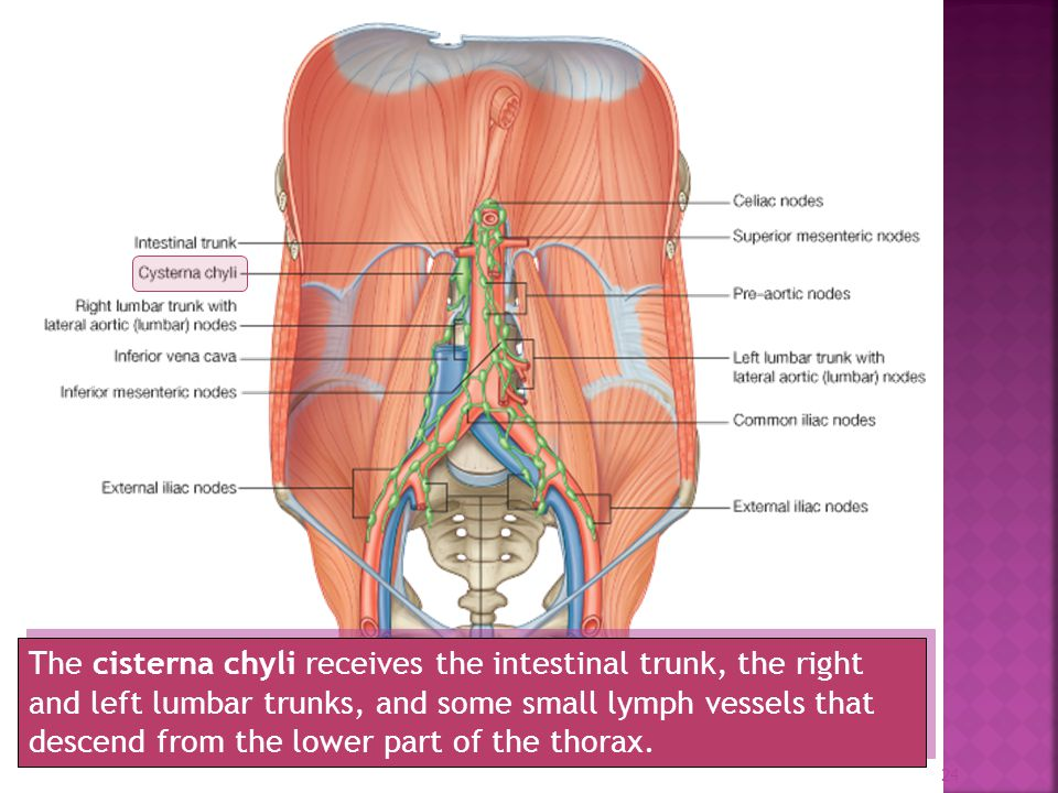 lymphatic of the abdominal viscera - ppt video online download, Human Body