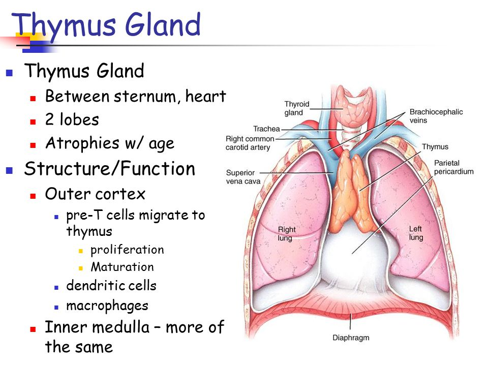 Dorable Thymus Gland Anatomy Ideas - Anatomy And Physiology Biology ...
