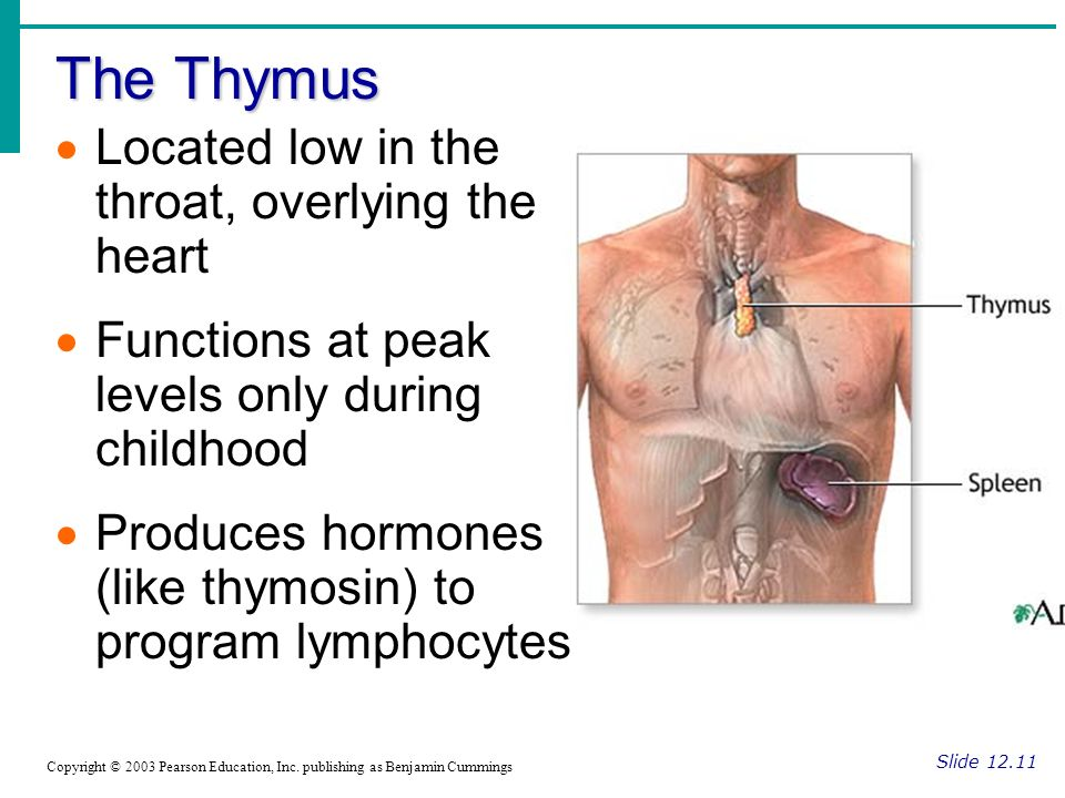 The Thymus Located low in the throat, overlying the heart