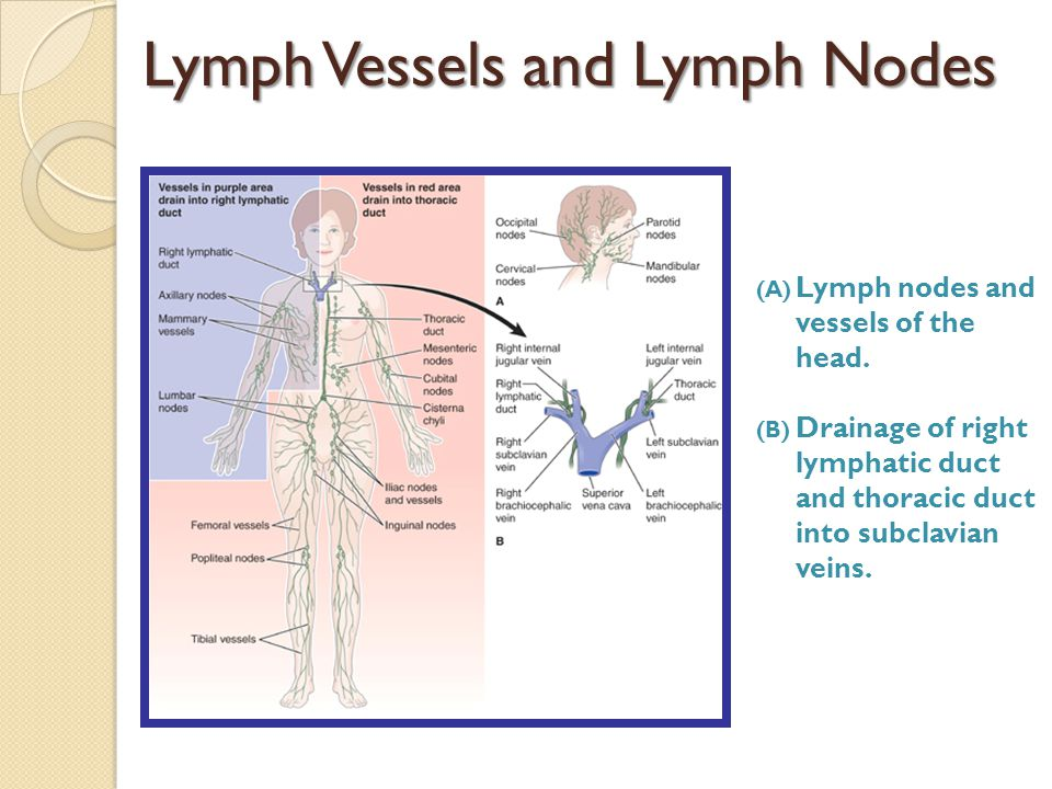 Lymph Vessels and Lymph Nodes