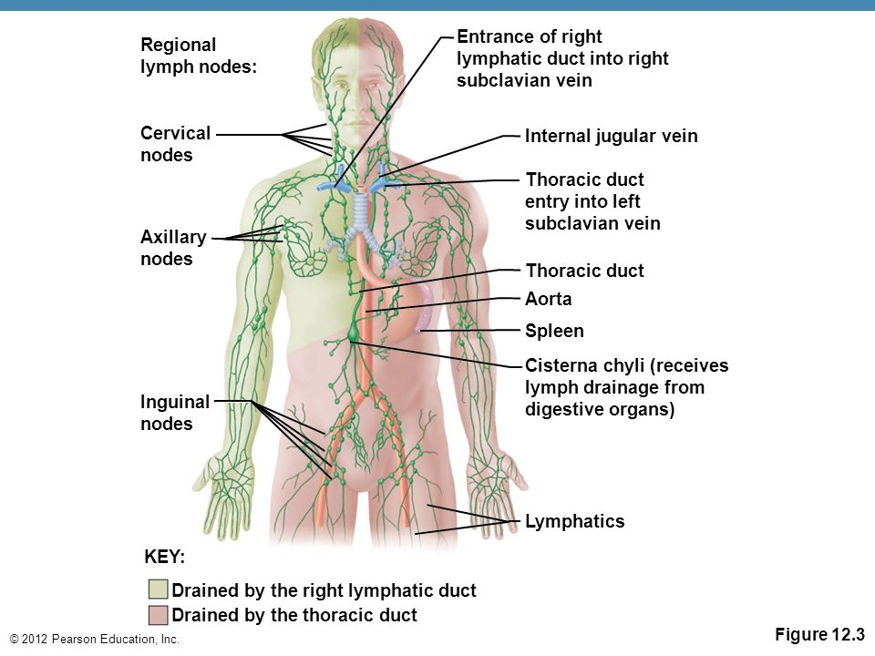 the lymphatic system and body defenses - ppt download, Cephalic Vein