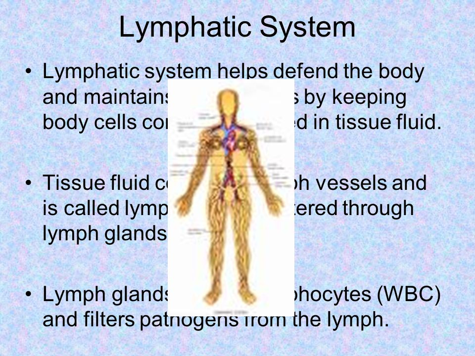 Lymphatic System Lymphatic system helps defend the body and maintains homeostasis by keeping body cells constantly bathed in tissue fluid.