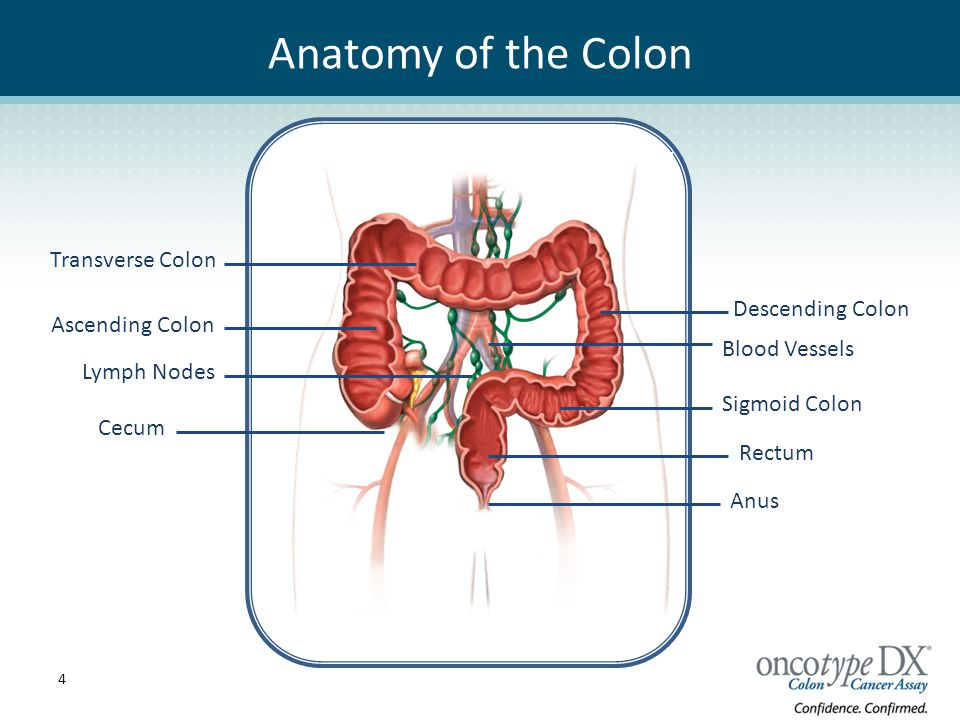 Right colon anatomy