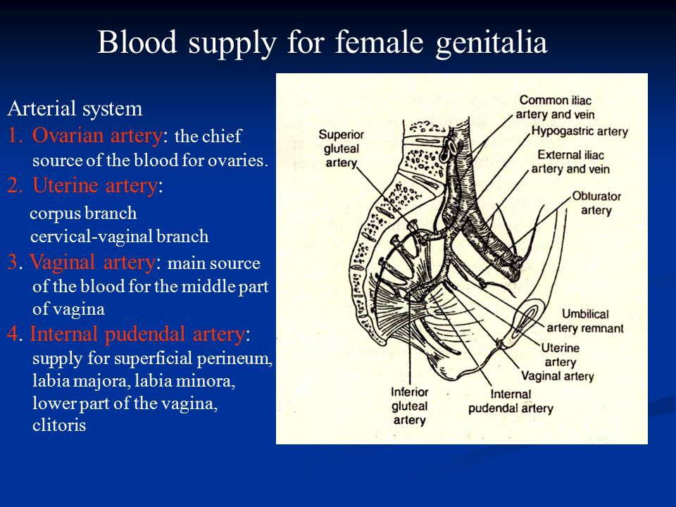 Blood supply of vagina