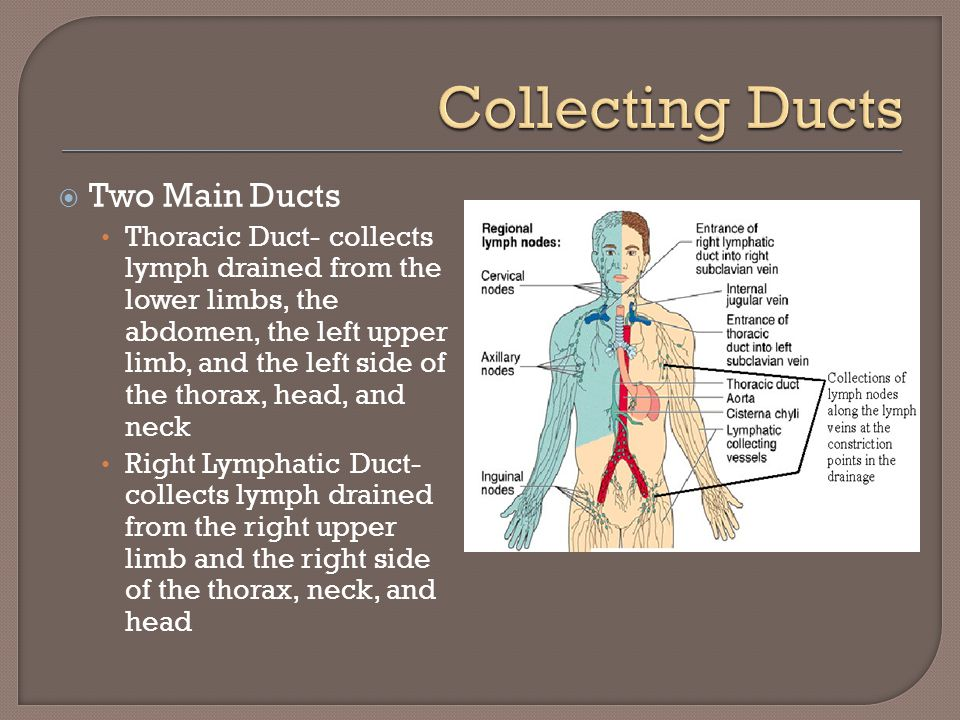 Collecting Ducts Two Main Ducts