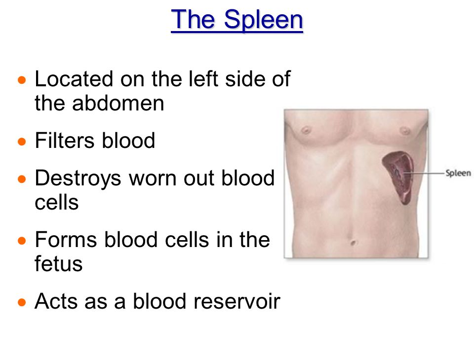 The Spleen Located on the left side of the abdomen Filters blood