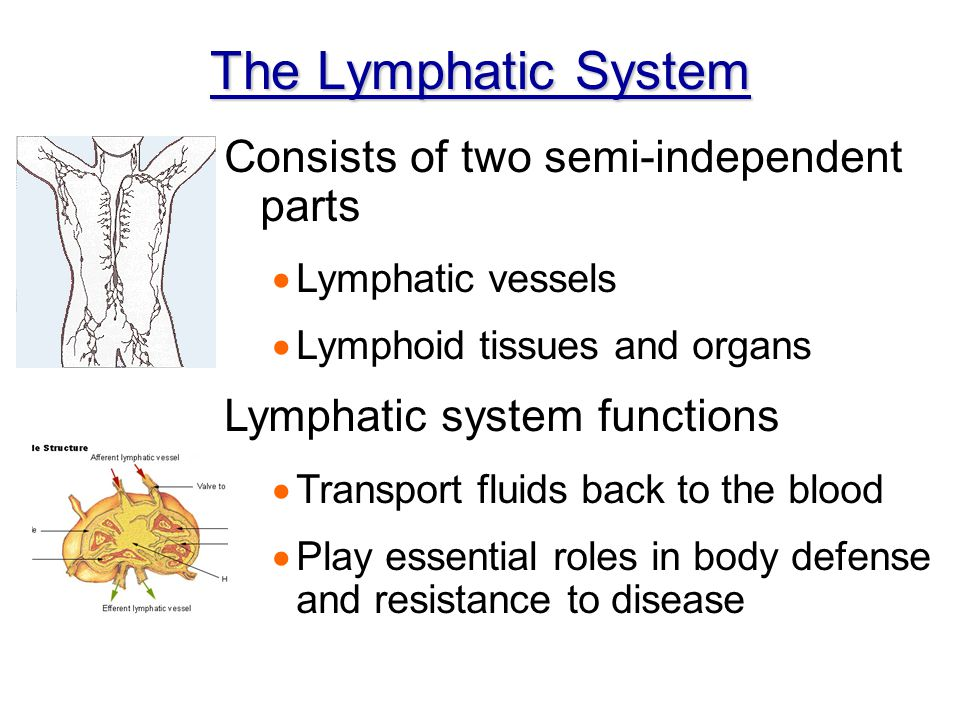 The Lymphatic System Consists of two semi-independent parts