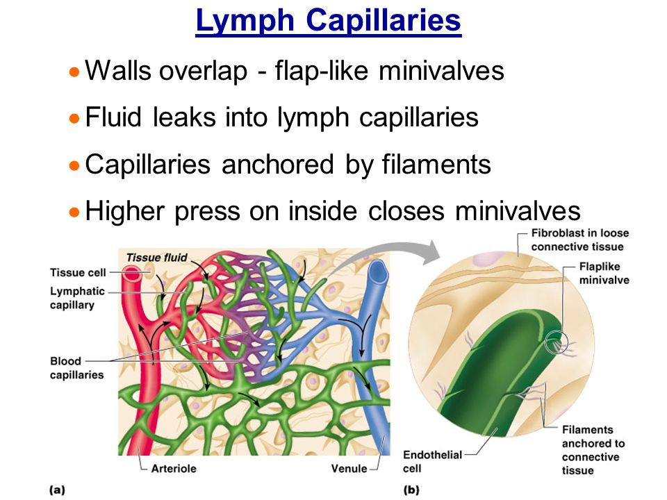 Lymph Capillaries Walls overlap - flap-like minivalves