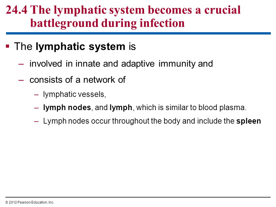 24.4 The lymphatic system becomes a crucial battleground during infection