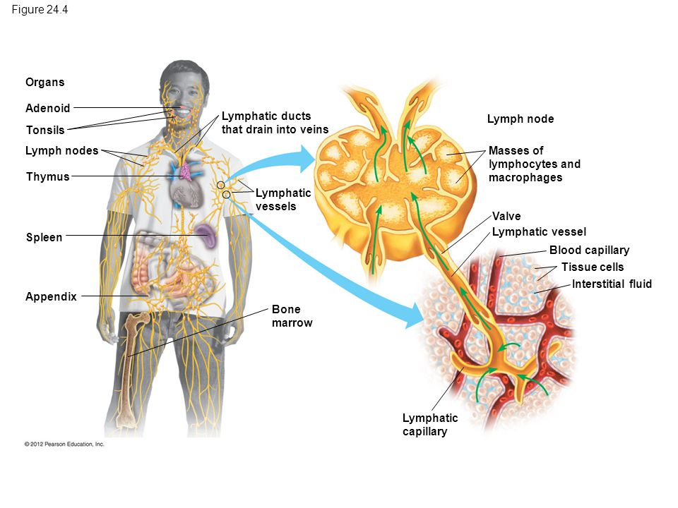 Figure 24.4 Organs. Adenoid. Lymphatic ducts that drain into veins. Lymph node. Tonsils. Lymph nodes.