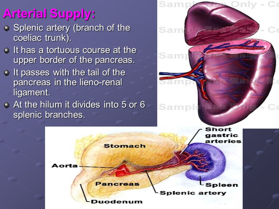 Arterial Supply: Splenic artery (branch of the coeliac trunk).