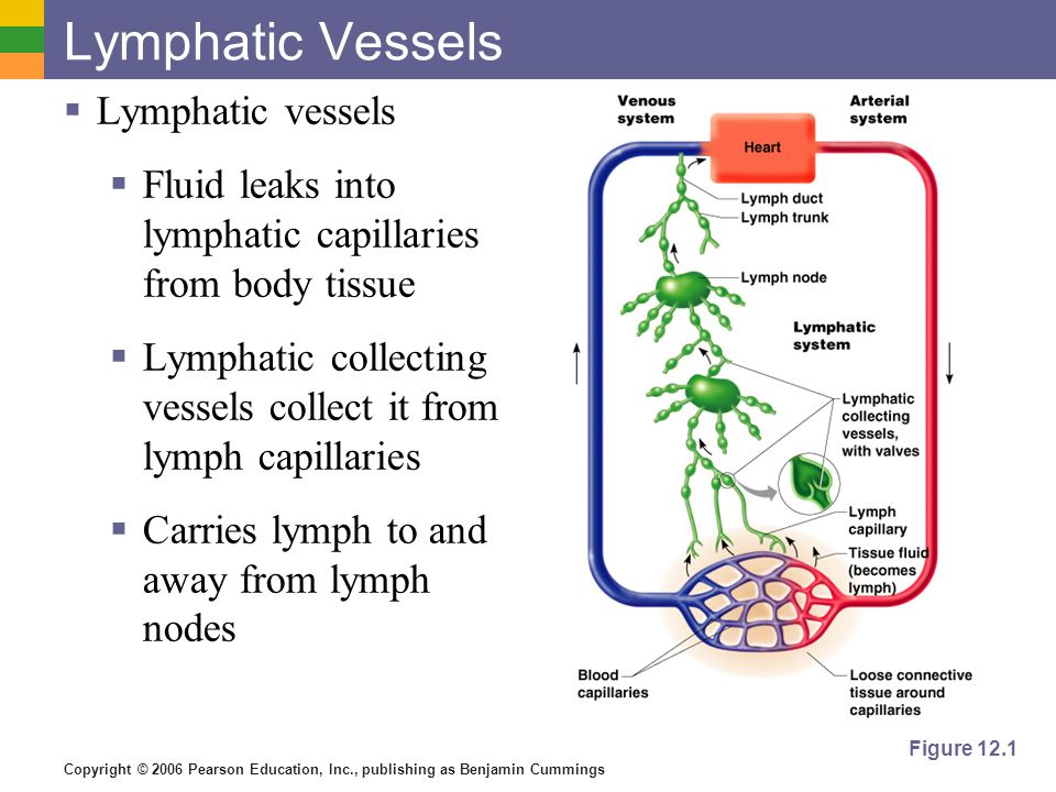 Lymphatic Vessels Lymphatic vessels