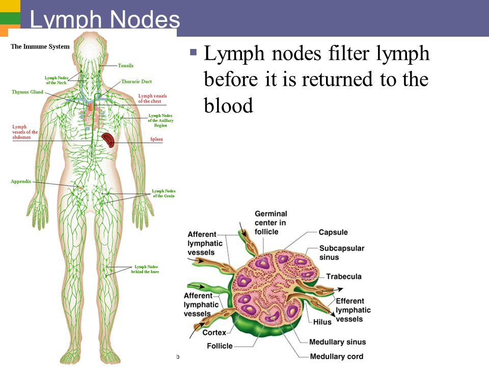 Lymph Nodes Lymph nodes filter lymph before it is returned to the blood