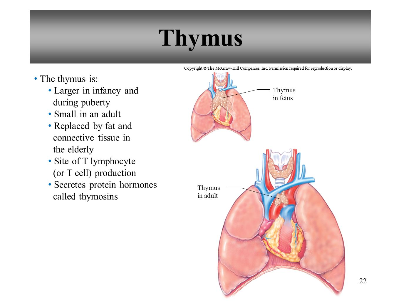 Erfreut Funktion Des Thymus Ideen - Anatomie Ideen - finotti.info