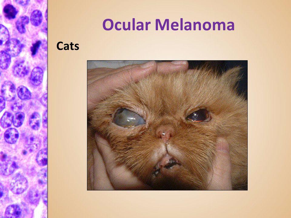 Melanoma Of Eye In Cats