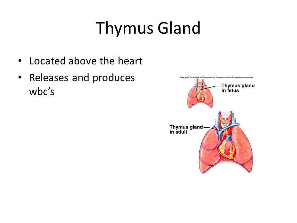 Thymus Gland Located above the heart Releases and produces wbc's