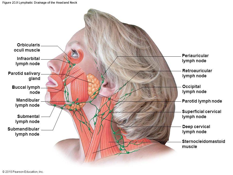 Neck anatomy lymph nodes