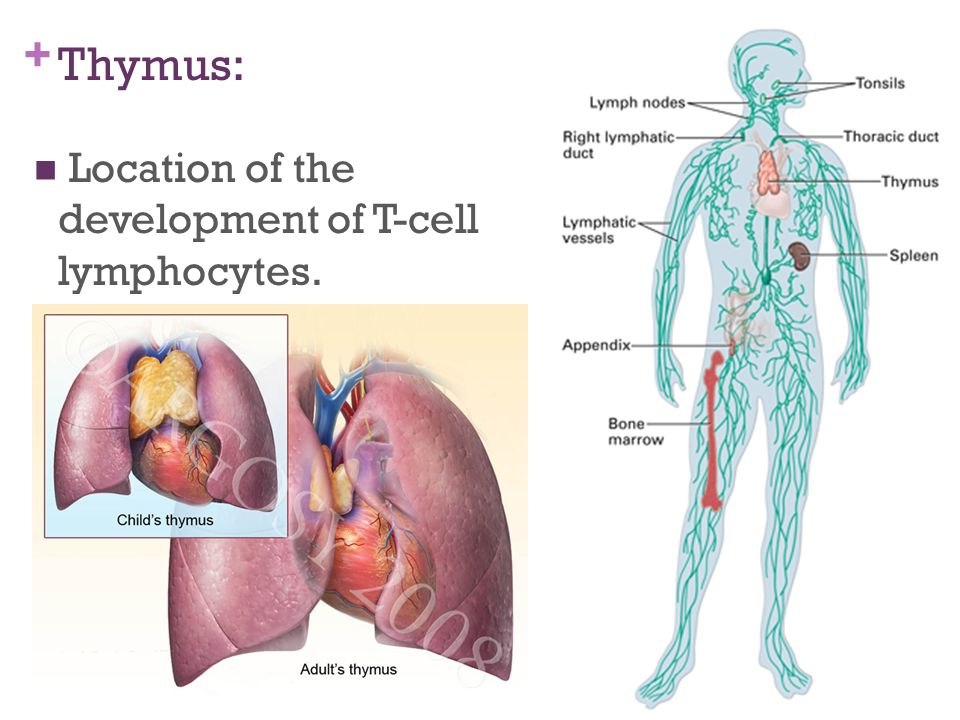 Thymus Location Image collections - human anatomy organs diagram
