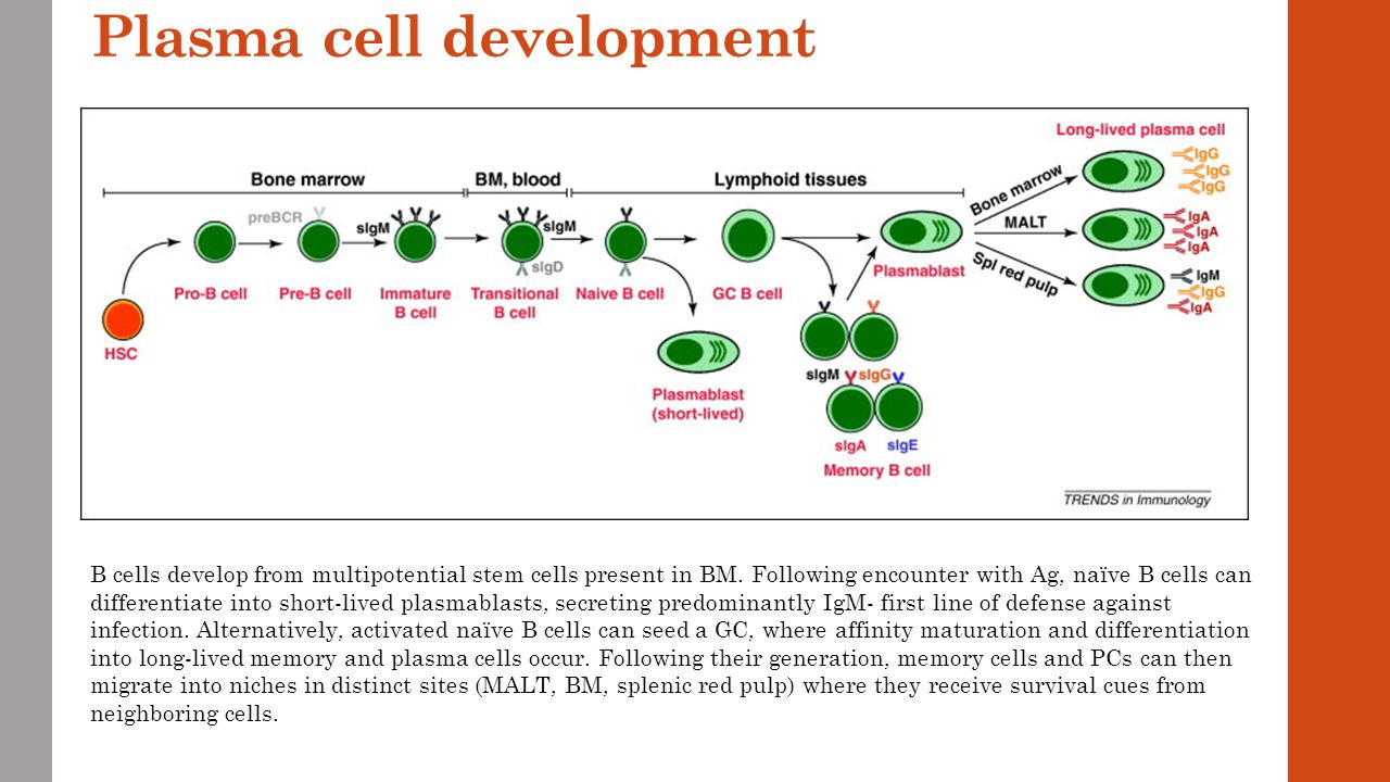 Lecture 8 and 9 lymphomas multiple myeloma plasma cell disorders plasma cell development publicscrutiny Choice Image