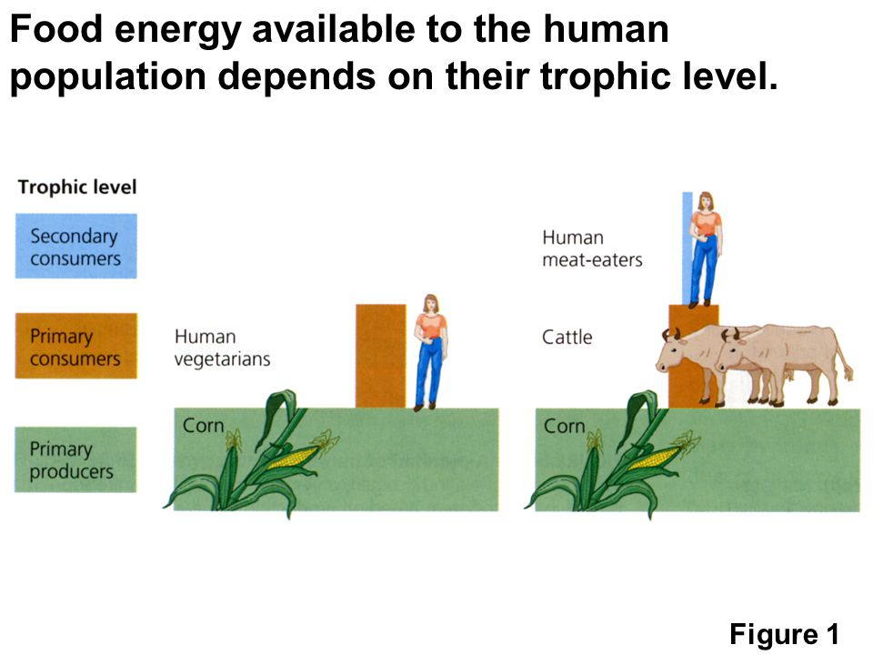 Food Energy Available To The Human Population Depends On Their Trophic Level on Food Chain Energy Flow Through