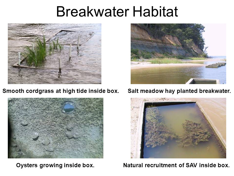 Breakwater Habitat Smooth cordgrass at high tide inside box.