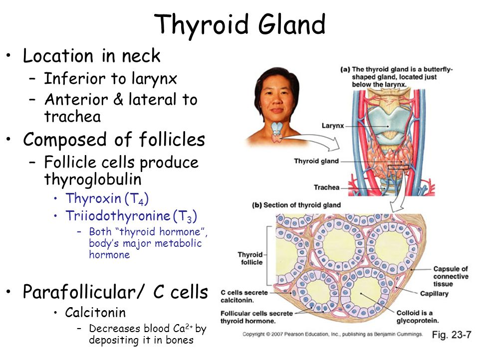 Thyroid Gland Location in neck Composed of follicles