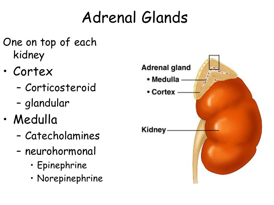 Adrenal Glands Cortex Medulla One on top of each kidney Corticosteroid