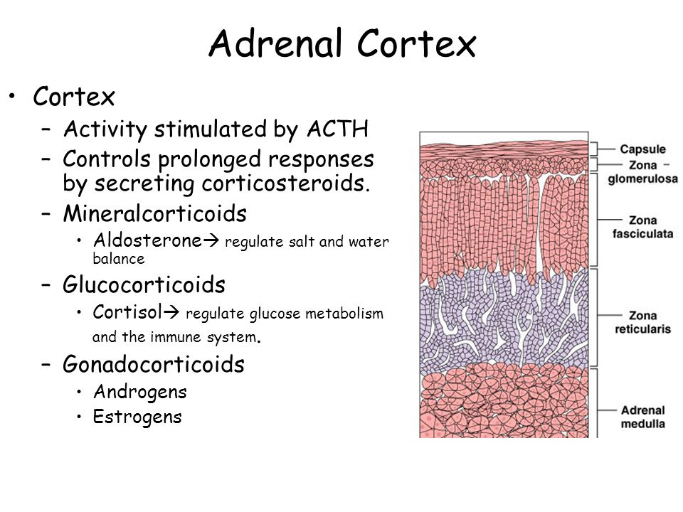 Adrenal Cortex Cortex Activity stimulated by ACTH