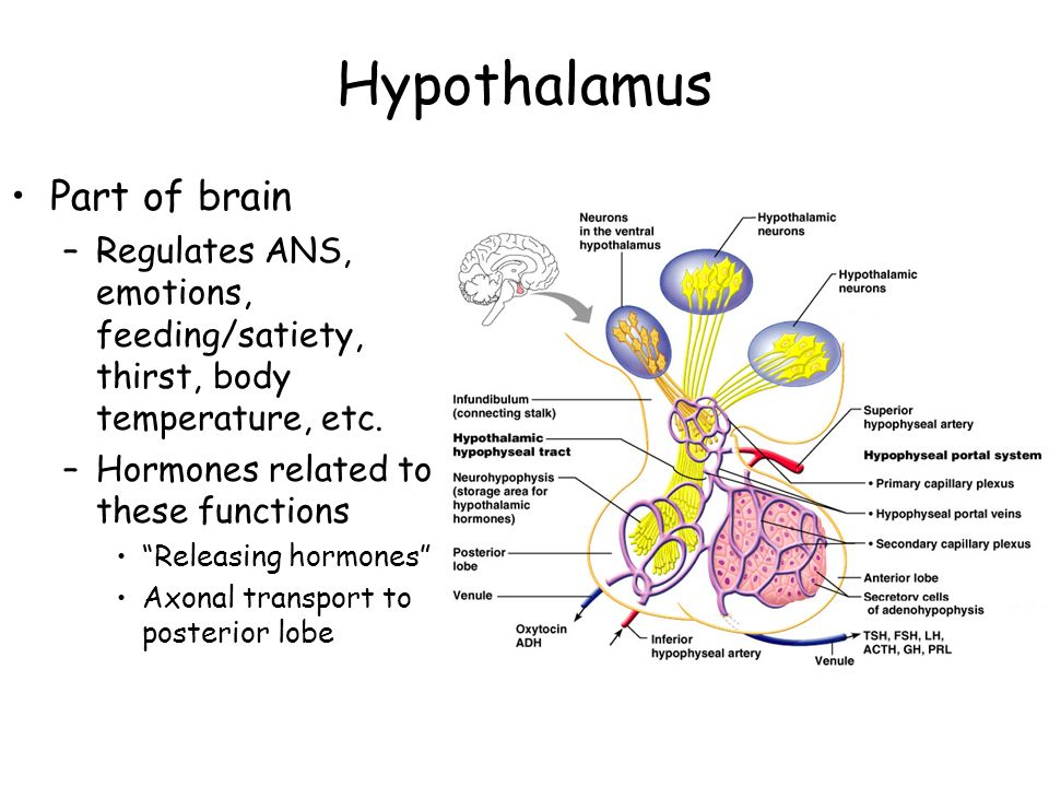 Hypothalamus Part of brain