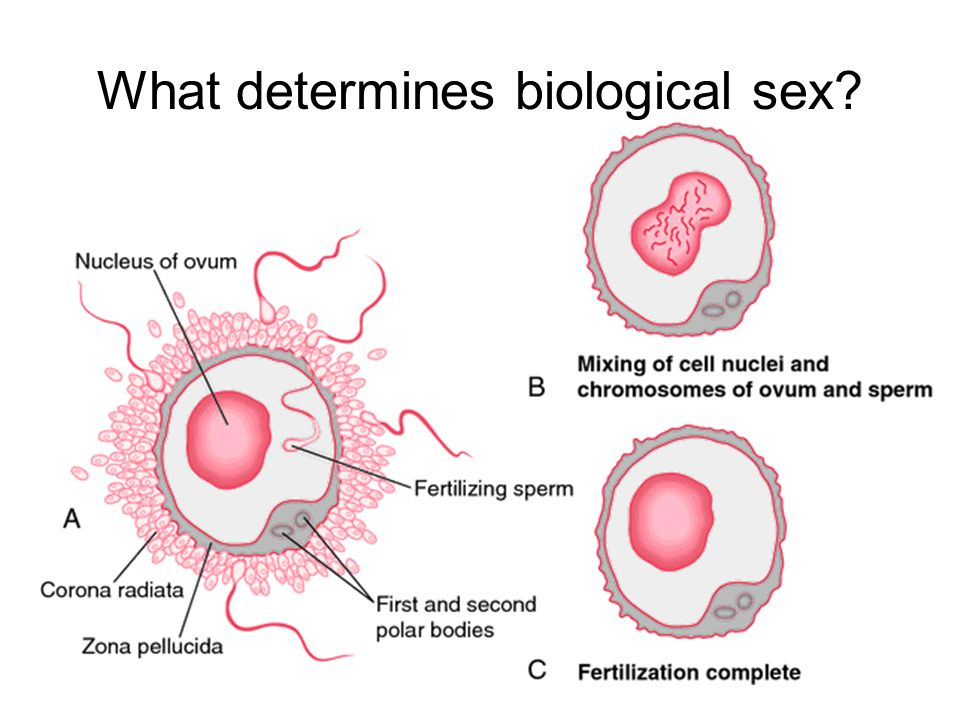 What determines biological sex