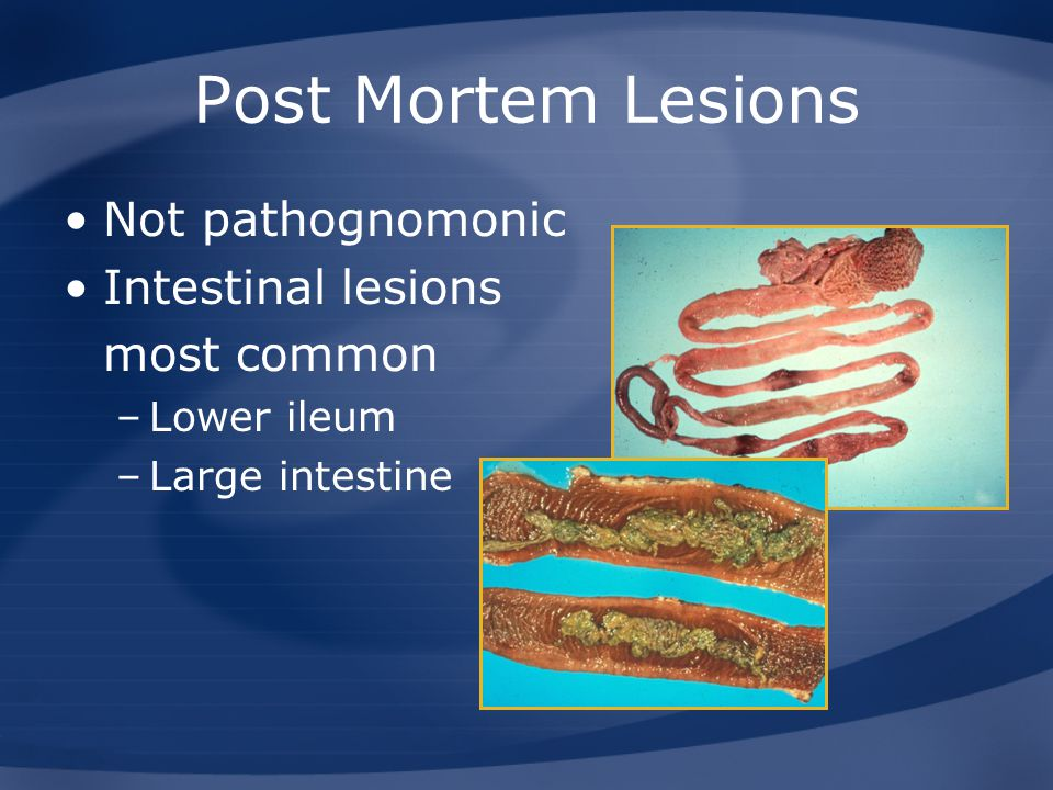 Post Mortem Lesions Not pathognomonic Intestinal lesions most common