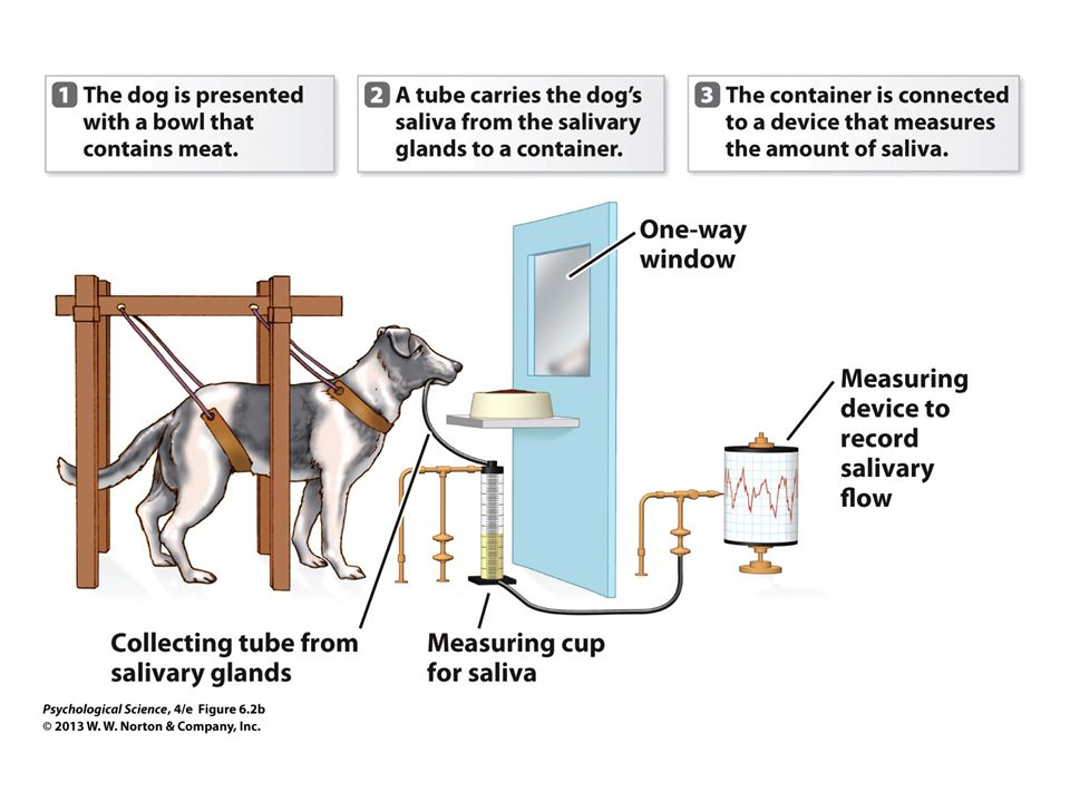 FIGURE 6.2b Pavlov's Apparatus and Classical Conditioning