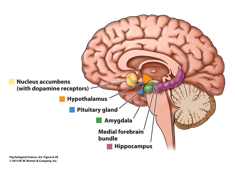 FIGURE 6.28 Pleasure Centers of the Brain